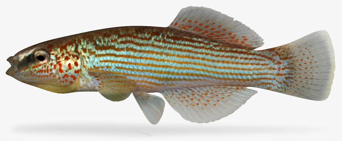 3D model fundulus catenatus northern studfish