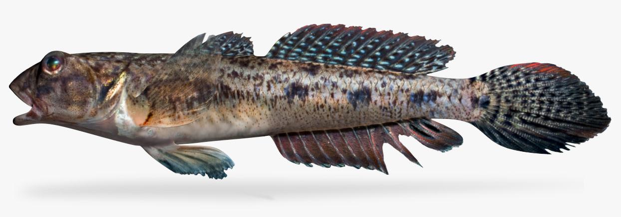 freshwater goby 3D model