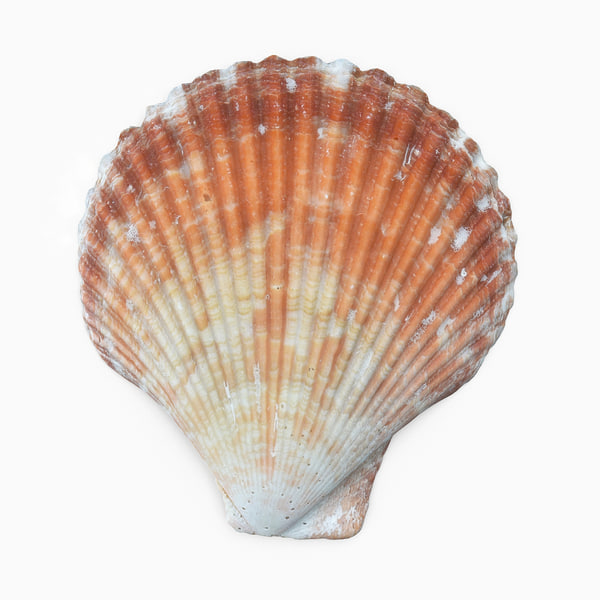 scallop shell 3D model