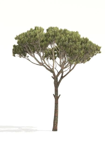 pine parasol tree 3D model