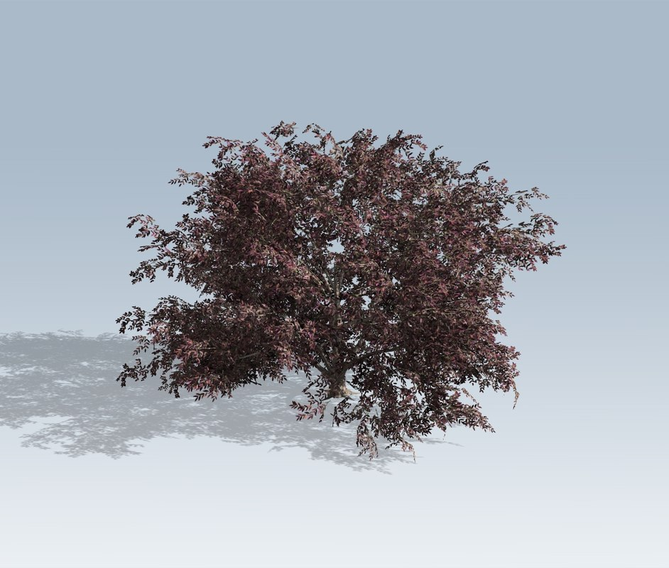 elderberry tree model