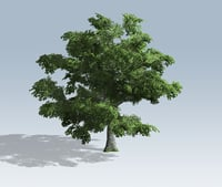 Tree - White Oak