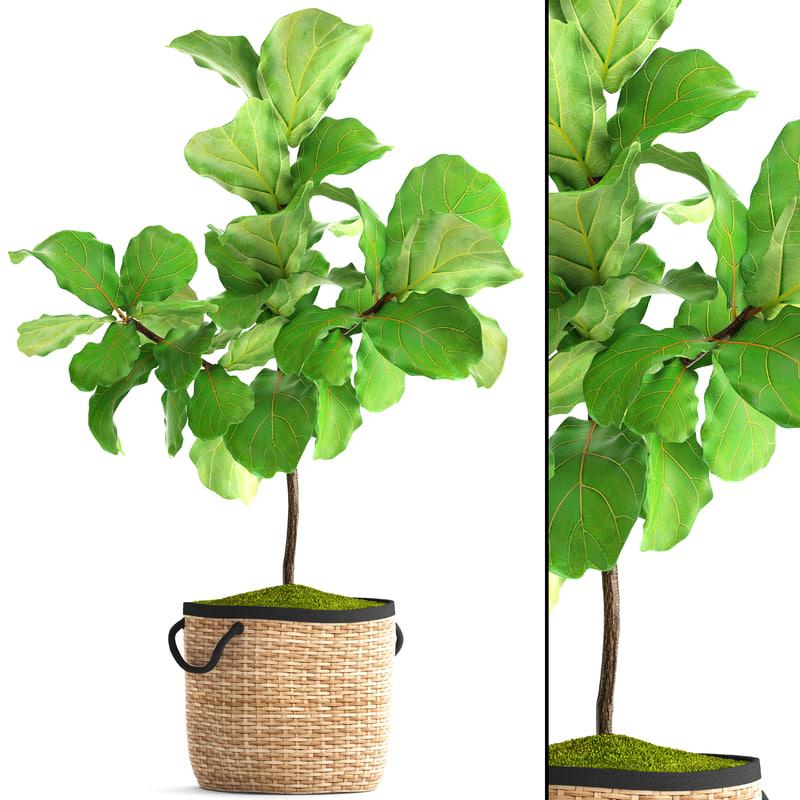 ficus lyrata trees 3D model