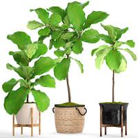 Ficus Lyrata Trees(4)