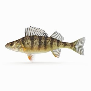 3D yellow perch
