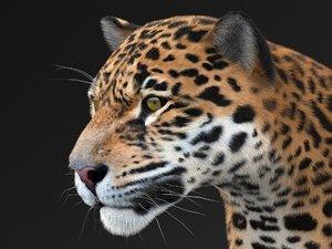 american panthera onca 3D model