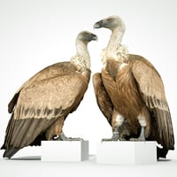 Gier Vulture Bird