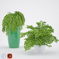 House Plant 3 Adiantum