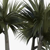 plant pandanus veitchii 3D model