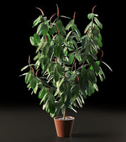 ficus tree model