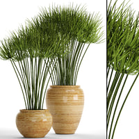 cyperus alternifolius 3D model