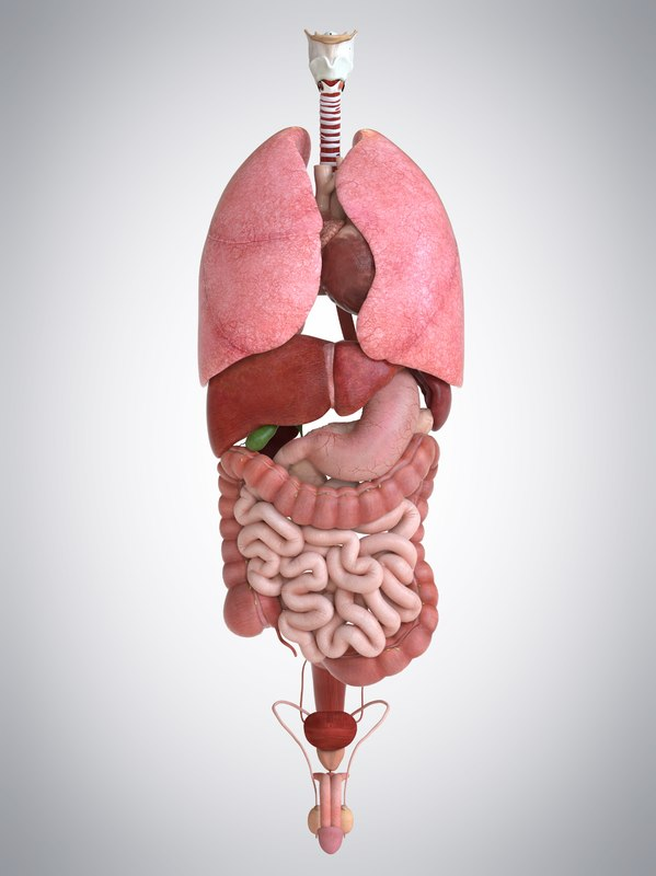 3d Internal Human Organs Liver Model Turbosquid 1174025