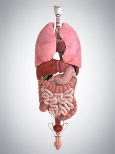 3D internal human organs liver model