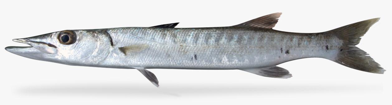 barracuda 3D model