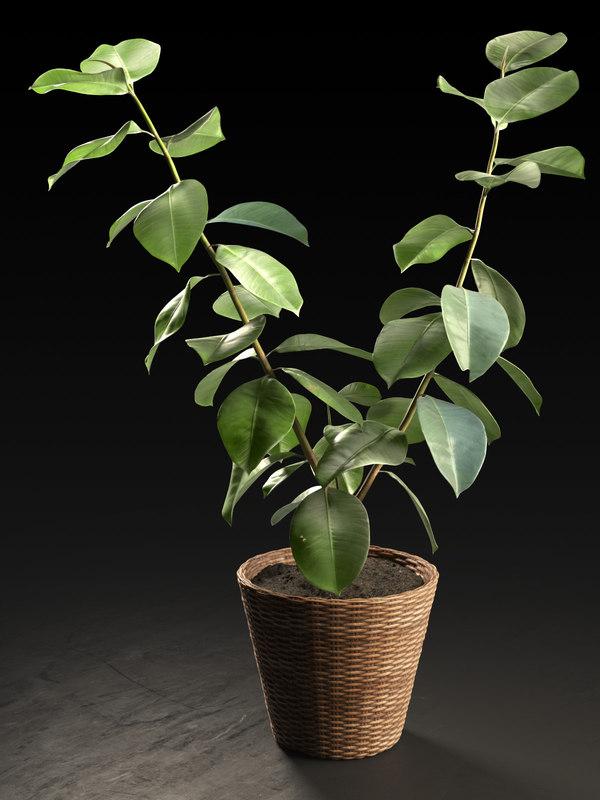 3D small ficus tree