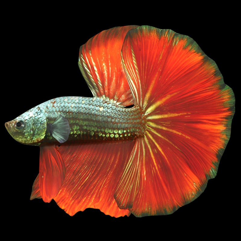 3D male betta scanline