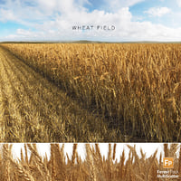 Wheat Field (Triticum)