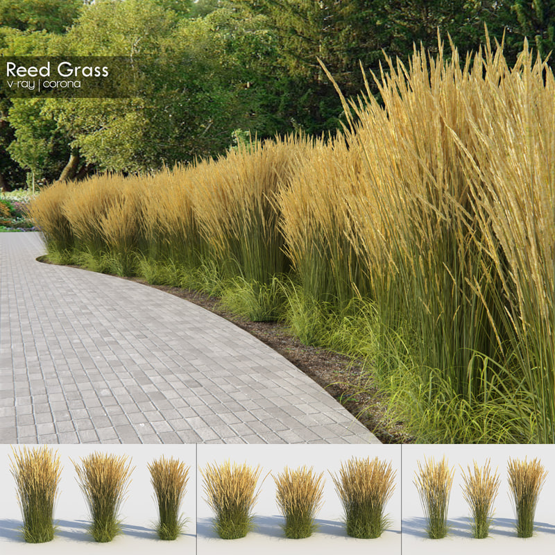 reed grass calamagrostis model