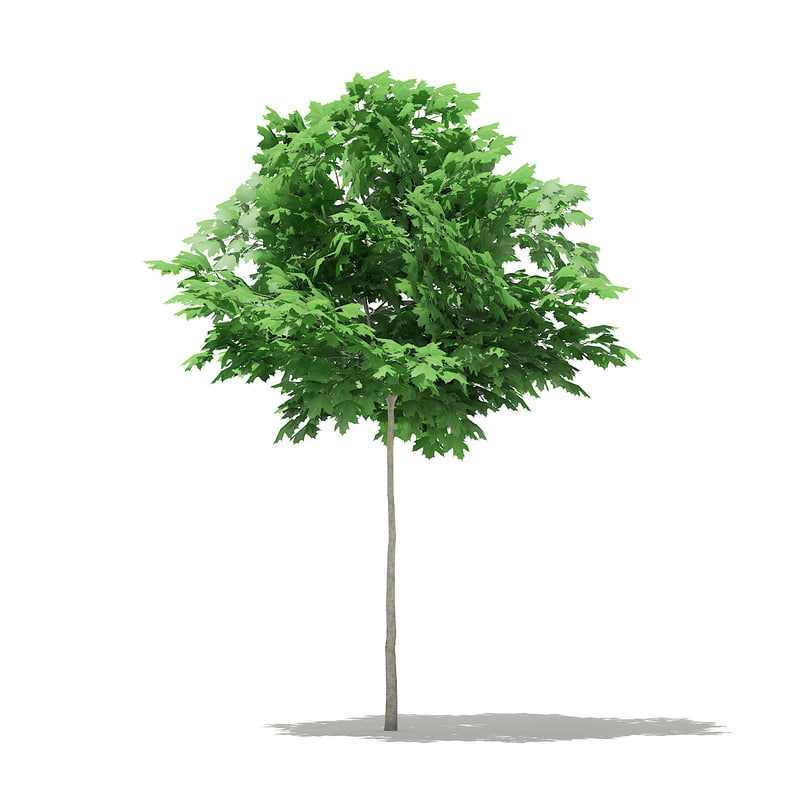 3D norway maple tree acer model