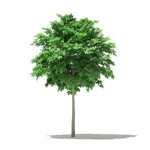 3D norway maple tree acer