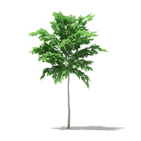 norway maple acer platanoides 3D model