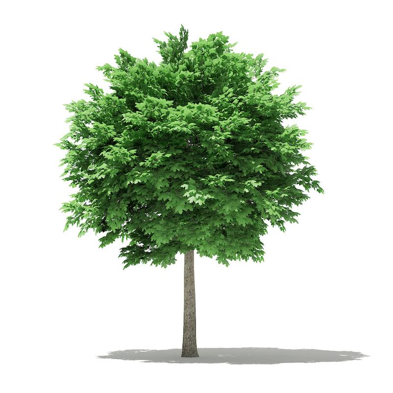 3D model norway maple tree acer