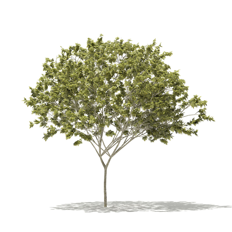 norway maple tree acer 3D model