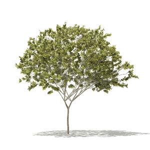 norway maple tree acer 3D model