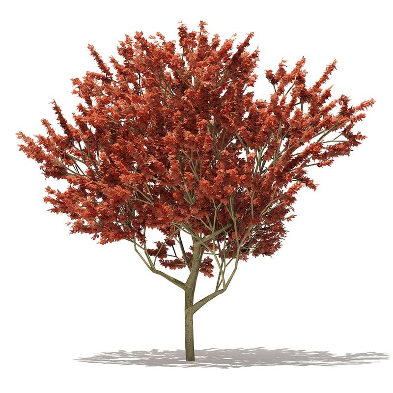 3D model red oak quercus rubra