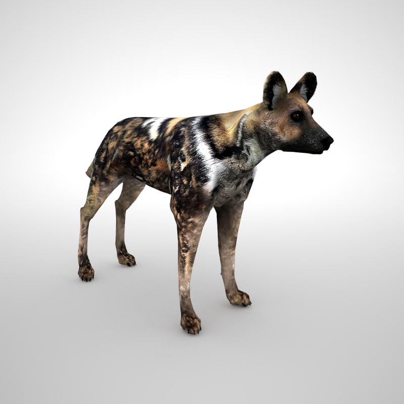 3D african wild dog model