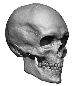 human skull head 3D model