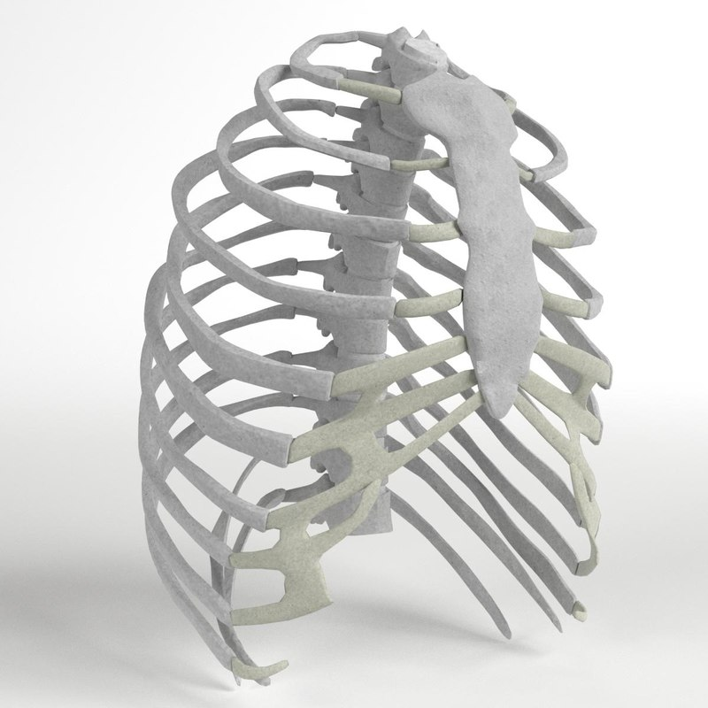 Human Rib Cage 3d Model Turbosquid 1176687