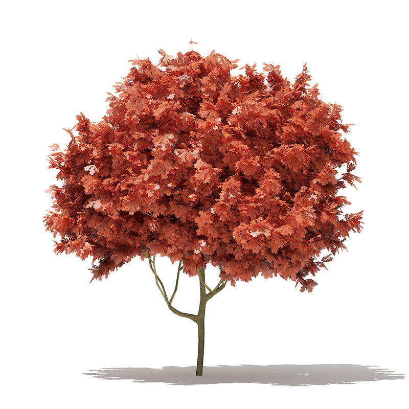 red oak tree quercus 3D