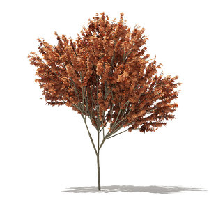 3D red maple tree acer