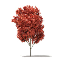 red maple tree acer model
