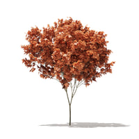 red maple tree acer 3D model