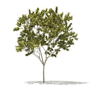 norway maple tree acer 3D