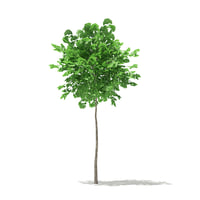 ginkgo tree biloba 1 3D model