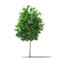 3D ginkgo tree biloba 3