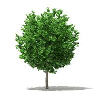 ginkgo tree biloba 3 3D