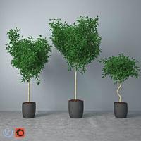 Ficus Benjamina 01