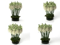 ornithogalums smallaccents 3D