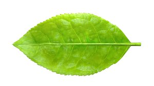 tea tree leaf 3D