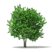 3D model ginkgo tree biloba 4
