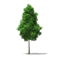 Ginkgo Tree (Ginkgo biloba) 7.4m