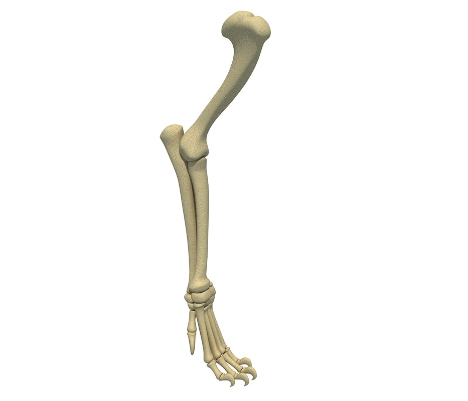 3D model lion leg skeleton animal