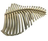 3D animal rib cage