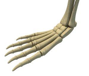 3D model animal leg skeleton