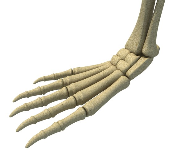 3D model animal leg skeleton
