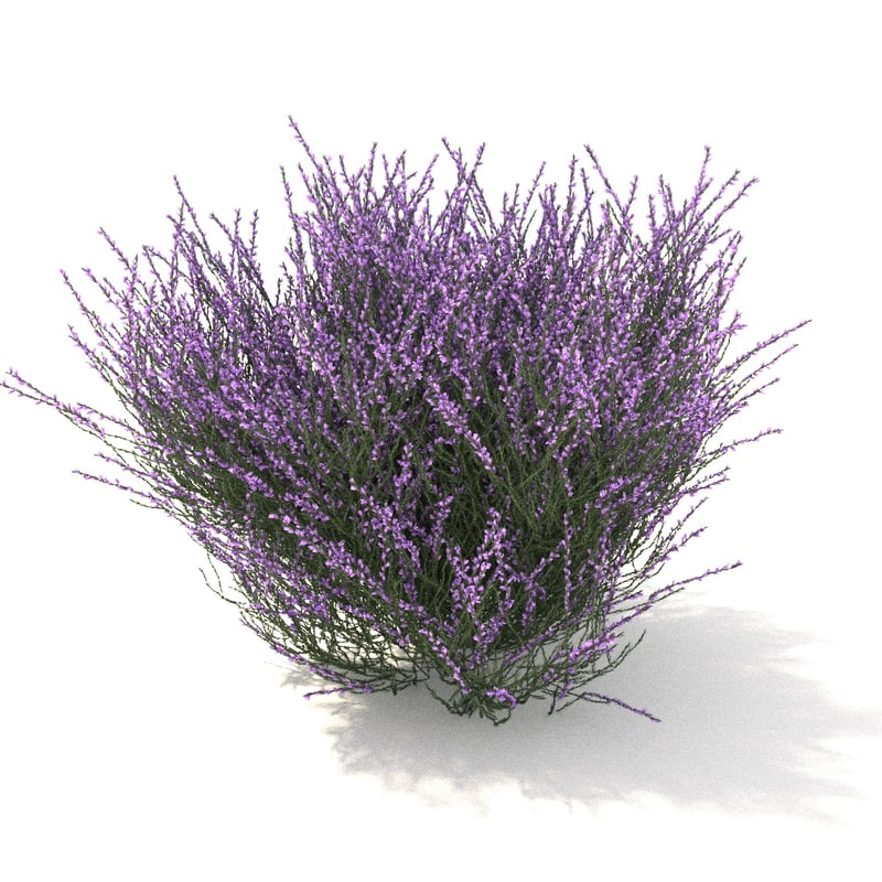 violet heather 3D